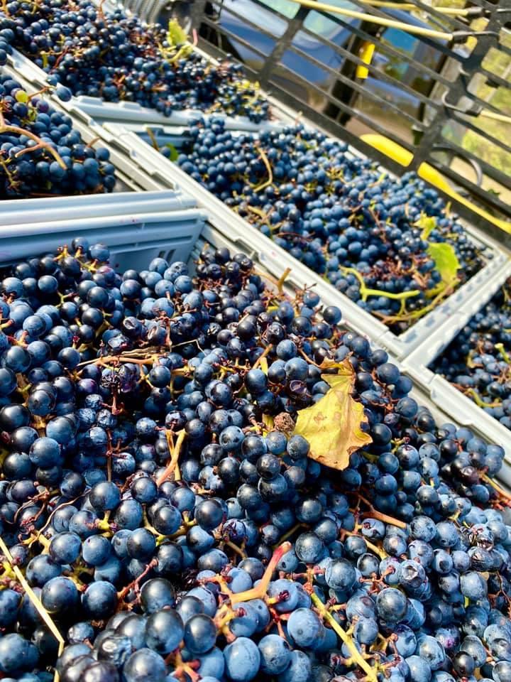 rudbeckia winery 1